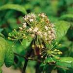 Tribulus Terrestris Tribulus terrestris is een plant die groeit in